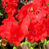 GERANIUM - PELARGONIUM ZONALE ou HORTORUM - QUESTION 1322