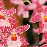 ORCHIDEE PAPILLON - PHALAENOPSIS - QUESTION 1326